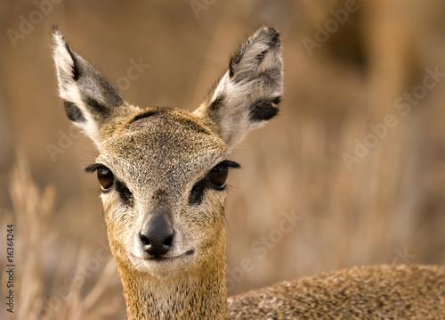 Fotobehang Antilope Klipspringer