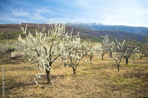 almond trees at valley of jerte