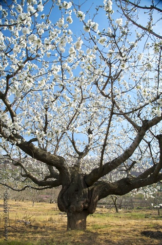 big almond tree