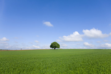 Tree in field of young wheat