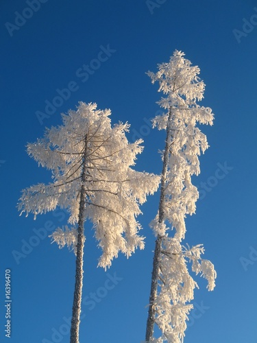 Trees in freezing winter
