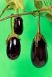 Auberginen am Zweig,freigestellt