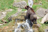 Brown bear wet