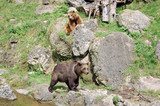 Brown bears two
