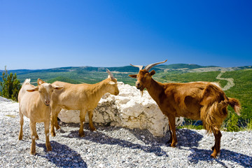 goats at Verdon Gorge, Provence, France