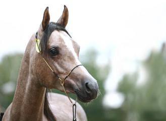 arab at horse show