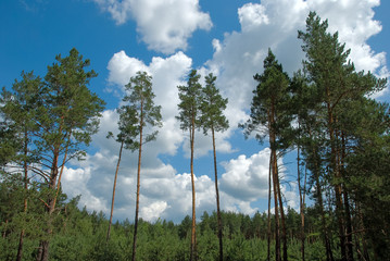 Pines on a background of clouds and blue sky