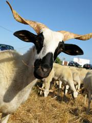 Cabra do Algarve - Ovelhas