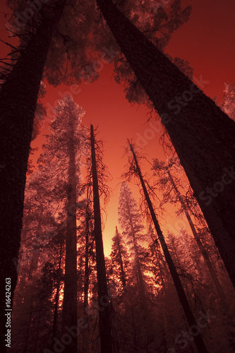 Giant Sequoia Sunset