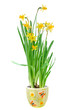 narcissus in the pot isolated on white