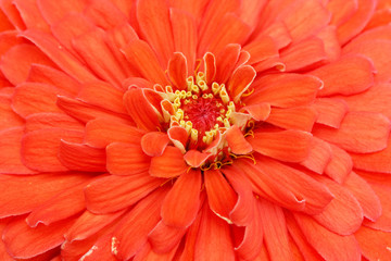 Macro of the center of a zinnia bloom.