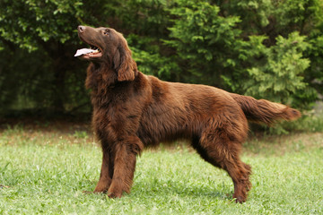 chien flat coated retriever de profil en position statique