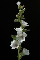 Eibisch, Althaea, Officinalis