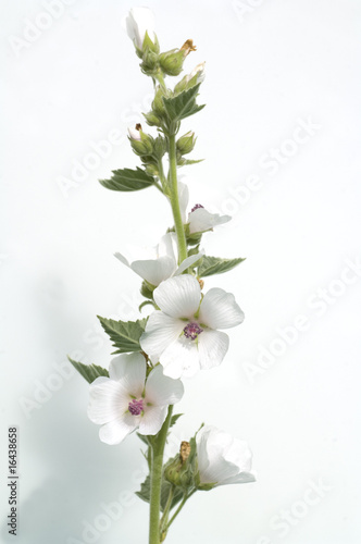 Eibisch, Althaea, Officinalis