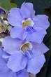 Himmelsblume, Thunbergia grandiflora