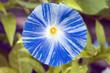 TRICHTERWINDE Ipomoea tricolor, Flying Saucer