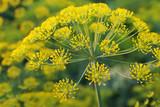Dill. Umbelliferous aromatic Eurasian plant poster