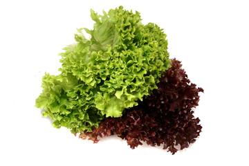 lactuca sativa lettuce