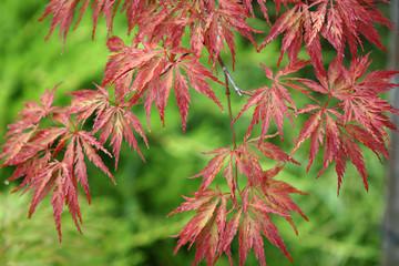 Acer japonicum from the Sochi's Dendrarium garden