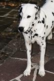 Focused Dalmatian closeup poster