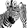Black And White Zebra Portrait