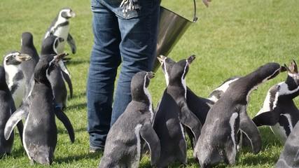 Zookeeper feeding penguins