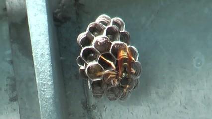 La dimora di una vespa