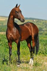 portrait of beautiful bay Akhal-Teke stallion