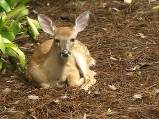 White tailed dear fawn lying down looking straight on 12