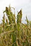 Damage to corn crop