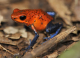 strawberry or blue jeans poison dart frog on jungle floor poster