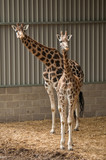 giraffes looking out of a shelter with surprise poster