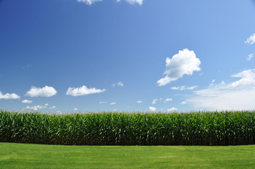 corn field under summer sky