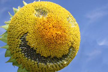 Sonnenblumengesicht