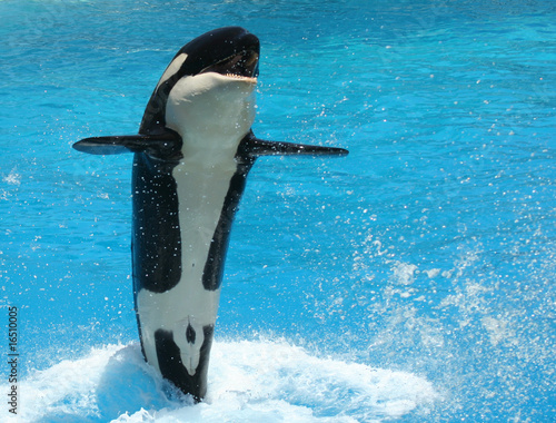 Foto op Plexiglas Dolfijn A Young Killer Whale Tail Walks Across the Water