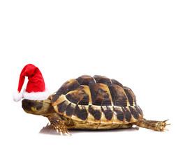 tartaruga natale
