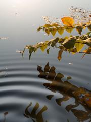Herbstblätter im reflektierenden Wasser