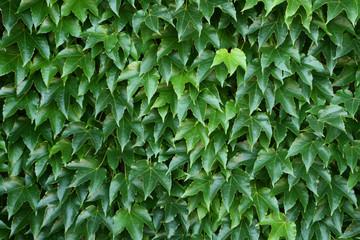 efeu - Kletterpflanze