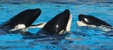A Trio of Oceanarium Killer Whales Socialize in TheirTank poster