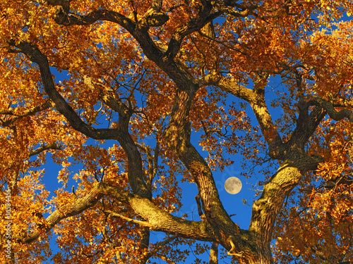 oak tree and moon