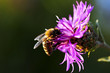 canvas print picture - Honey bee on Knapweed