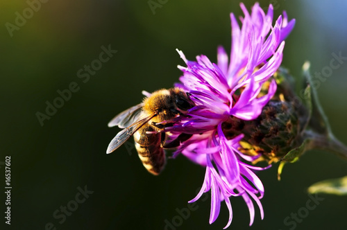 canvas print picture Honey bee on Knapweed