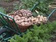 récolte de pommes de terre de différentes variétés