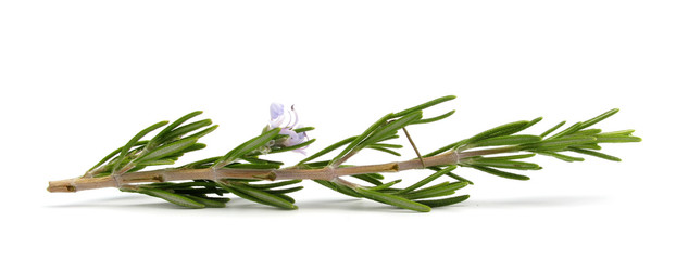Rosemary branch with flower