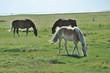 Pferd IX