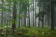 Misty late summer coniferous stand of Bialowieza Forest