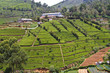 Teeplantage im Hochland von Nuwara Eliya