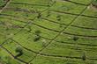 grüne Teeplantagen im Hochland von Sri Lanka