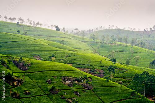 Teeterassen im Hochland von Nuwara Eliya im Dunst