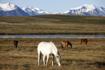 Horses on plateau Ukok
